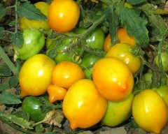 Normale Tomate Lemon Tree - Bio