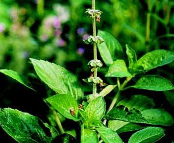 Basilikum african green bio pflanzen for Green pflanzen